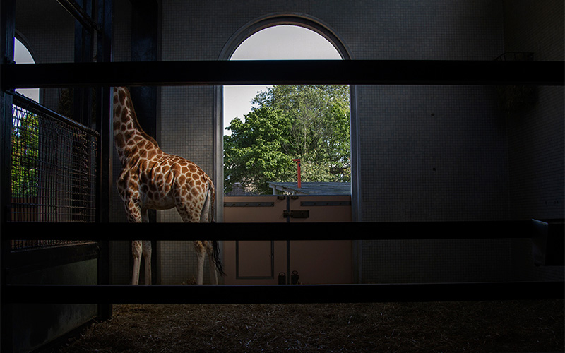 photo taken through wide bars of giraffe in interior enclosure with head in high feeding trough with a large open doorframe leading to the outside in the background