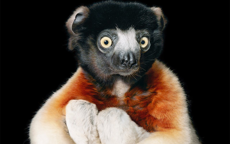 photo of lemur with arms hugging knees close to torso and looking slightly away from camera with wide eyes