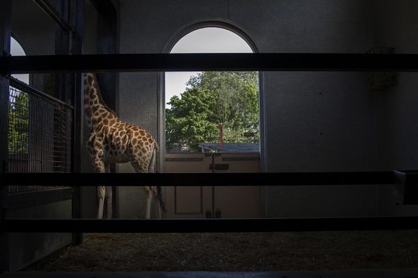 Denizen - Dark photograph with a giraffe by photography lecturer Katy White