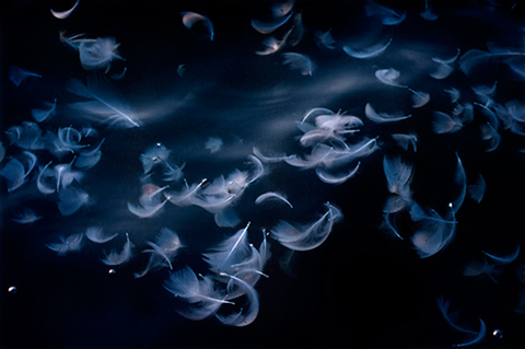 Untitled - Photograph of purple/blue feathers floating in the air in front of black background